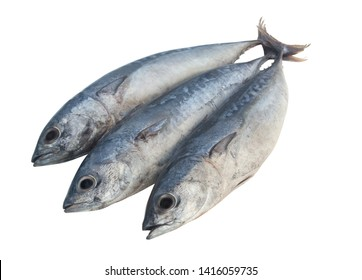 Three bullet tuna fish or frigate mackerel isolated on white background, Auxis rochei