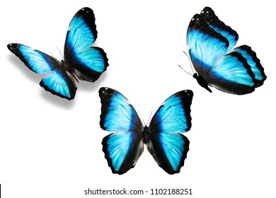Three butterflies with large blue wings, in different angles, isolated on white background