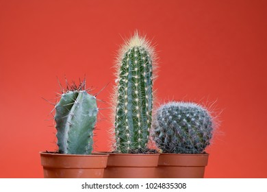 Three cactus plant on a plain color background with space to place your logo