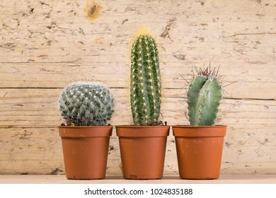 three cactus plants on an old wood background with space to place your logo