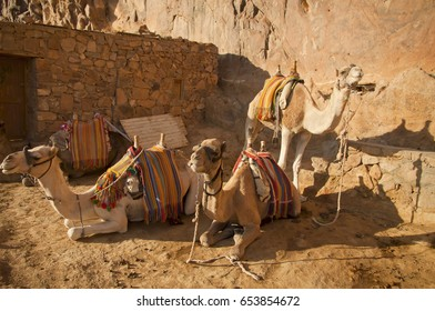 Three camels in the desert. South Sinai. Egypt