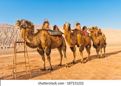 Three camels at the Flaming Mountains, Xinjiang, China.