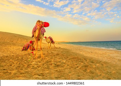 Three camels on the beach at Khor al Udaid in Persian Gulf, southern Qatar with sand dunes and sea on background. Camel ride is a popular tour in Middle East, Arabian Peninsula. Beautiful sunset light