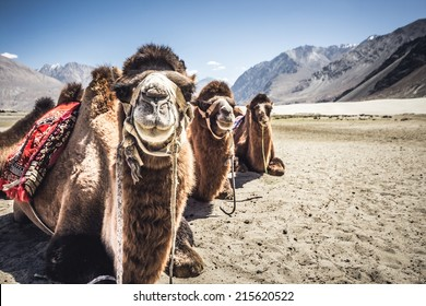 Three camels in a row in Nubra Valley, India.