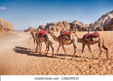 Three camels with saddle blankets walk through the sandy desert of the Wadi Rum valley in Jordan.