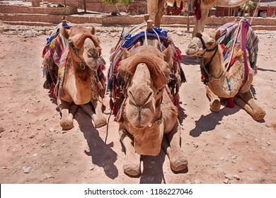 Three camels with saddles and blankets ready for tourists are close-up and staring directly at the camera.