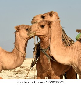Three camels together on the salt flats of the Danakil Desert, Ethiopia