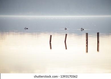 Three canvasback (Aythya valisineria) swimming on a lake in Occoquan Bay National Wildlife Refuge at sunrise
