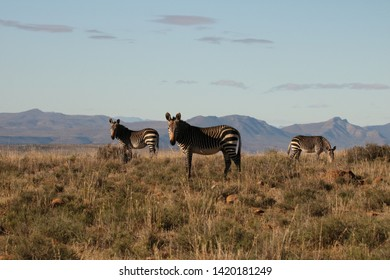Three Cape Mountain Zebra grazing on open arid Karoo plains with mountain in the background in the Eastern Cape of South Africa.