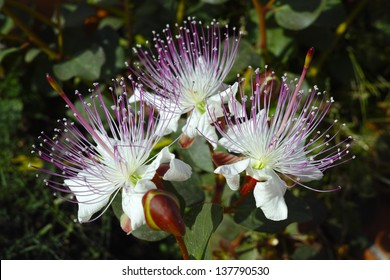 Three caper flowers under sunlight