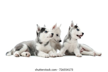 Three carried puppies of siberian husky dogs playing, sitting at studio on floor, lying, waiting for food, looking away. Pretty, cute group dogs with white and gray fur, blue eyes, like woolf.
