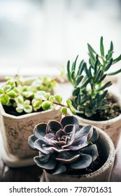 Three ceramic pots with different colorful succulent plants