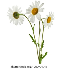 Three chamomile flower isolated on white  background