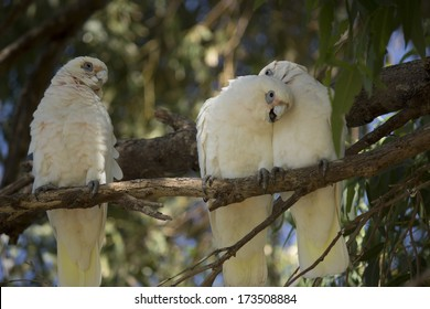 Three cheeky comical white Australian corellas Licmetis  a subgenus of the white cockatoos (genus Cacatua) perched  on a branch in a gum tree   are grooming each other with their beaks.