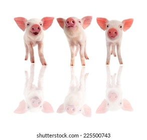 three cheerful  pig on a white background