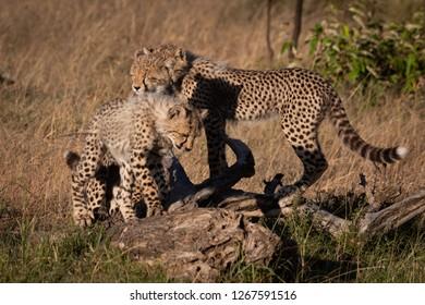 Three cheetah cubs stand on dead log