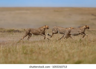 Three Cheetahs males running to female Malaika at mating time in Masai Mara, Kenya