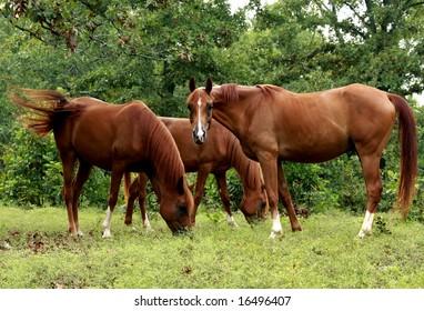 Three chestnut arabian horses grazing on hill.