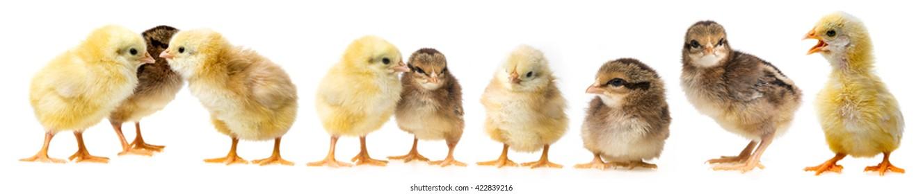 three chickens