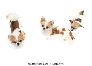 three chihuahua dogs isolated on the white background