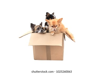 three chihuahua dogs in the paper box isolated on the white background