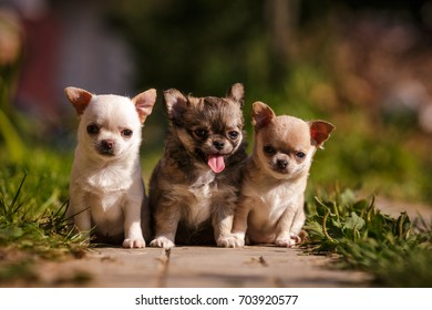 Three Chihuahua little puppy walking outdoor on the grass in summer
