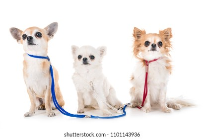 three chihuahuas in front of white background