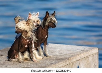 Three Chinese Crested hairless dogs. The Chinese Crested dog breed was created to be an invalid's companion.