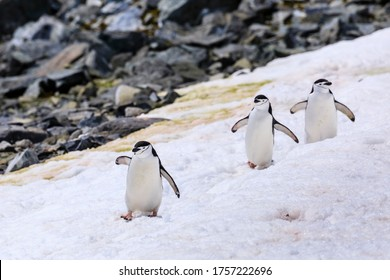 Three Chinstrap penguins (Pygoscelis antarcticus) waddling in a line in the cold snow, playing follow my leader, remote Half Moon Island, South Shetland Islands, Polar Regions, Antarctica