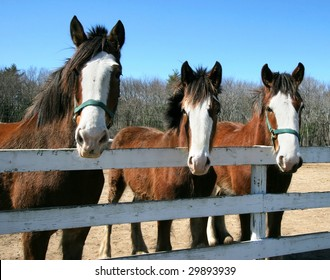 three clydesdale horses looking over fence