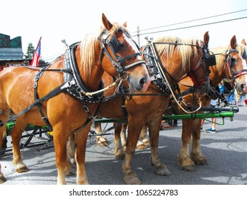 Three clydesdale horses ready for an American parade