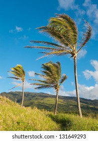 Three coconut trees swaying in the wind
