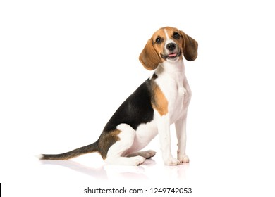 three color beagle dog isolated on white background