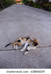 Three Colored Cat Lying on The Street Entering The House