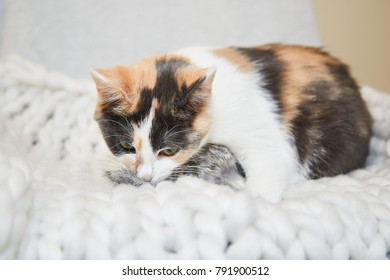 Three colored diluted calico kitty playing with a stuffed mouse