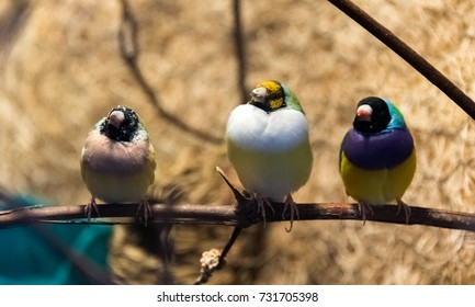 Three colorful birds sitting on a tree branch