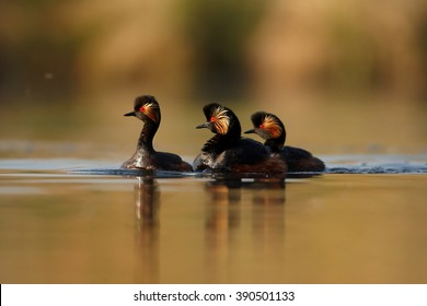 Three colorful Black-necked Grebes, Podiceps nigricollis in fight during mating season on calm lake against orange and green background, photo taken from water level with floating hide.Spring, Europe.