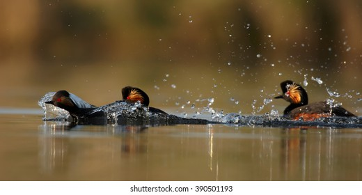 Three colorful Black-necked Grebes, Podiceps nigricollis in fight during mating season, fast swimming and splashing water, photo taken from water level with floating hide. Spring, Europe.