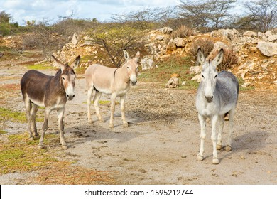 Three colorful donkeys standing in wild nature on island Bonaire