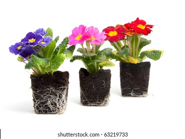 three colorful primula flower in garden soil over white background