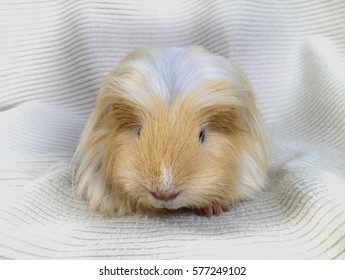 Three Colors Guinea Pig on White Blanket Background
