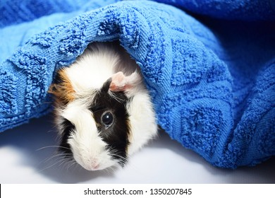 Three colors Guinea pig and towel on white background.