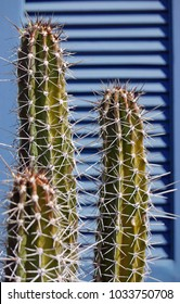 Three columnar cacti in front of blue shutters