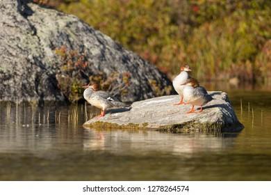 Three Common Merganser perched