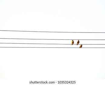 Three Common myna birds perching on power cable lines isolated on white background.