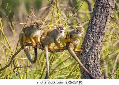 Three common squirrel monkeys (Saimiri sciureus) playing on a tree branch