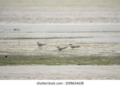 Three Common Terns