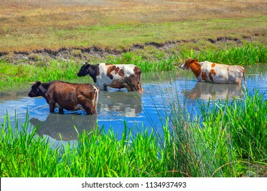 three cows standing in the pod water in summer