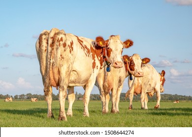 Three cows walking into the meadow, seen from behind, towards the horizon, with a soft blue sky with some white clouds.