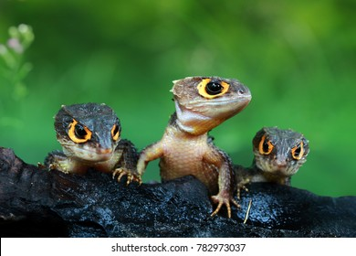 Three crocodile skink, crocodile skink